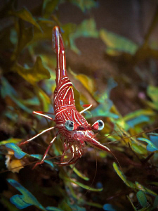 Hinge-back Shrimp, Tulamben by Doug Anderson 